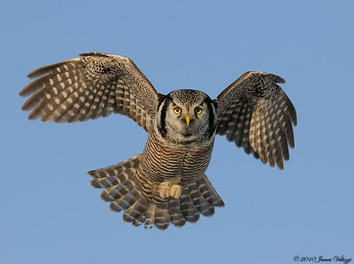 Northern Hawk Owl, Surnia ulula