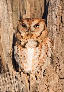 Eastern Screech-Owl, Megascops asio