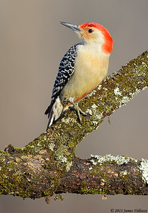 Red-bellied Woodpecker, Melanerpes carolinus