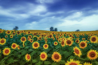 Sunflower Fields o Kansas