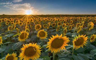 Sunflower Sunstar
