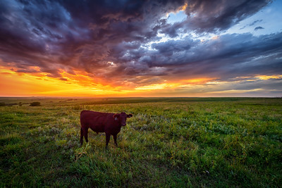 Flint Hills - Sunset Cow