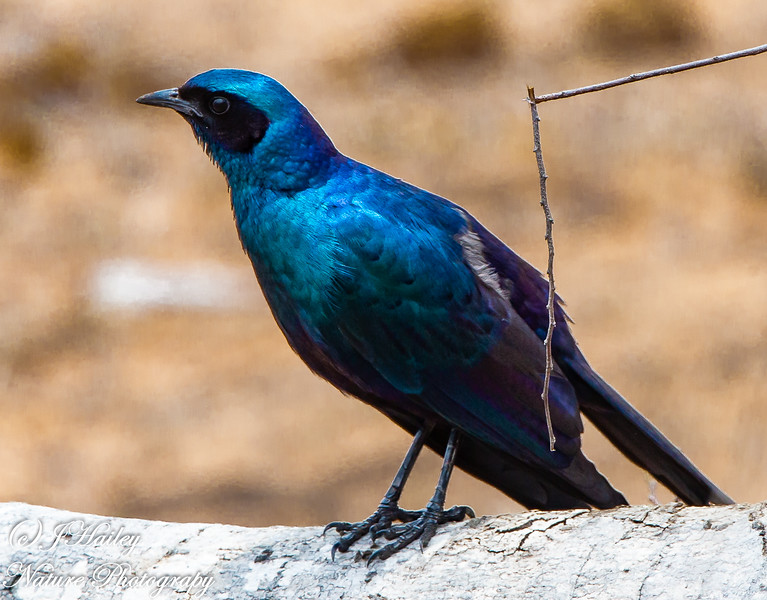 Burchell's Starling, Lamprotornis australis
