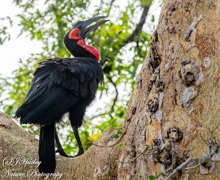 Southern Ground- Hornbill, Bucorvus leadbeateri
