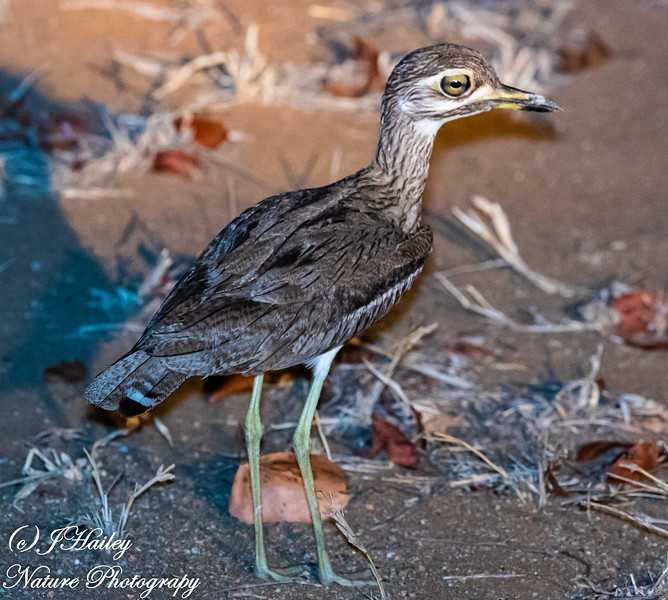 Water Thick-knee, Burhinus vermiculatus