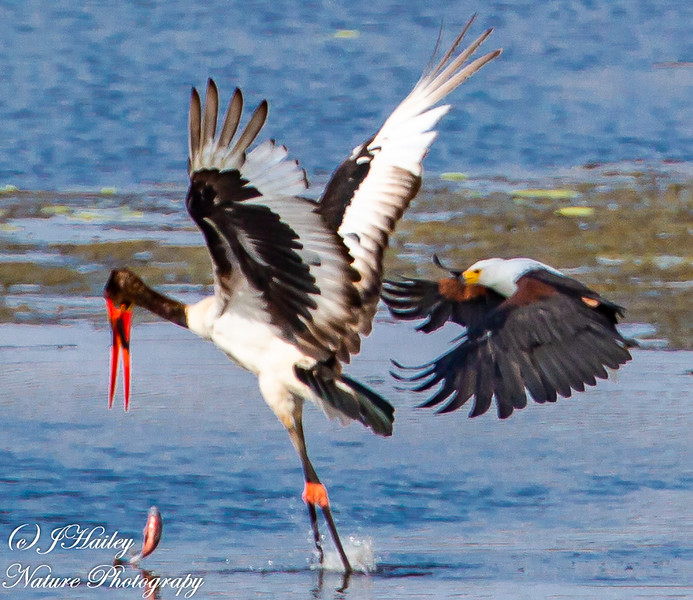 Fish Eagle/Saddle-billed Stork,