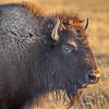 Bison, Randall County