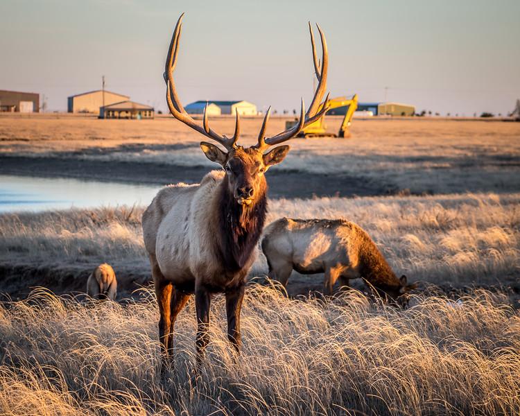 Elk, Randall County