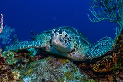 Smiling Green Sea Turtle