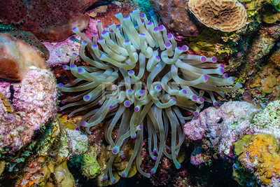 Purple tipped Giant Anemone
