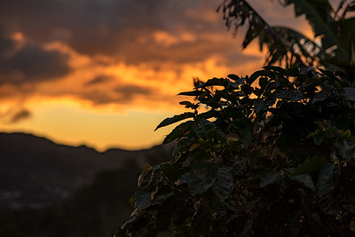 Coffee tree sunrise