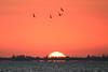 Black skimmers in sunrise