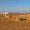 WILD CAMELS SEEN ALONG DRIVE