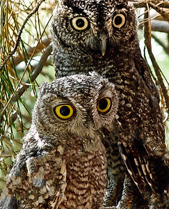 Owls in Amado Arizona