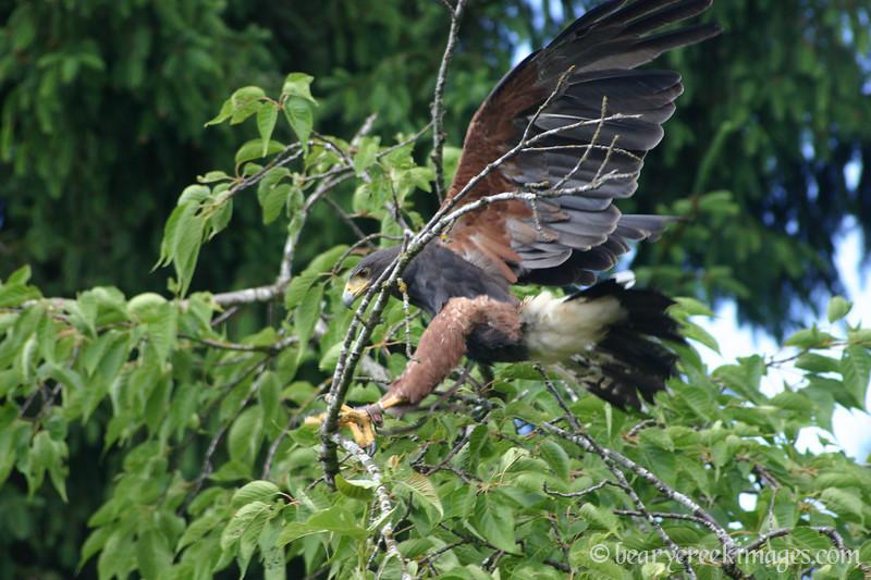 Harris Hawk Free Flight