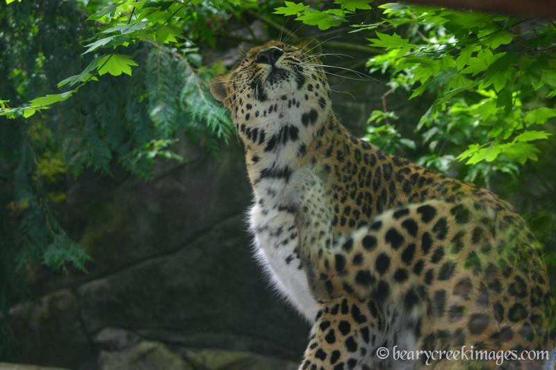 Scratching Leopard