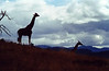 Giraffes and Clouds