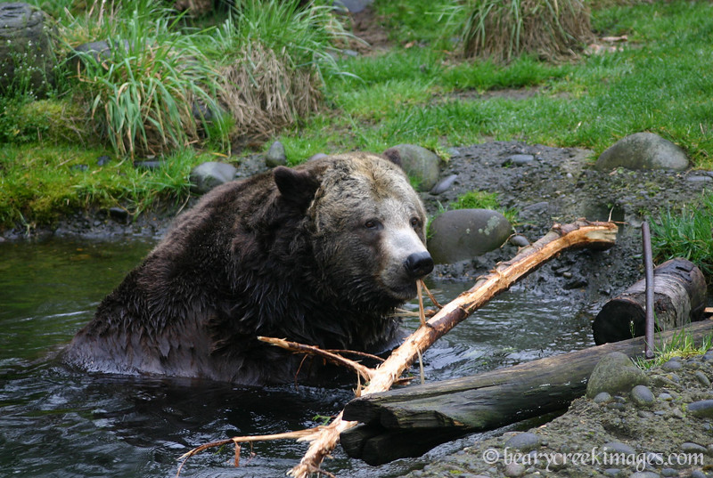 Grizzly Bear Moving Branch