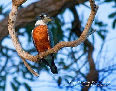 Ringed Kingfisher, Pantanal, Brazil