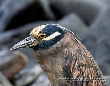 Yellow Crowned Night Heron,  Galapagos Islands, Ecuador