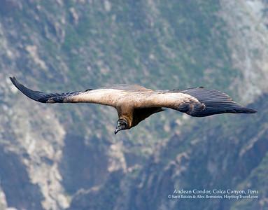 Andean Condor, Colca Canyon, Peru