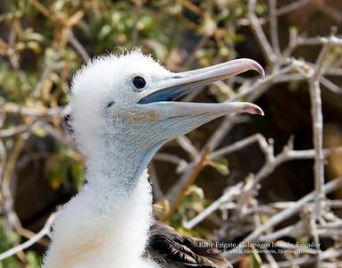 Baby Frigate,  Galapagos Islands, Ecuador