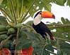 Toucan, Pantanal, Brazil