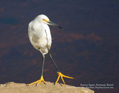 Snowy Egret, Pantanal, Brazil