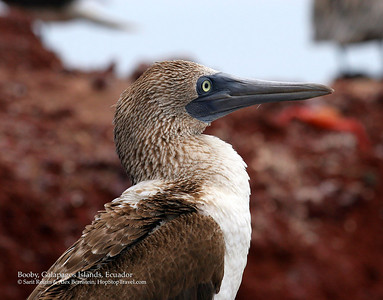 Booby, Galapagos Islands, Ecuador