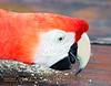Scarlet Macaw, Amazon, Brazil