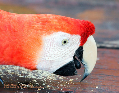 Scarlet Macaw, Amazon, Brazil