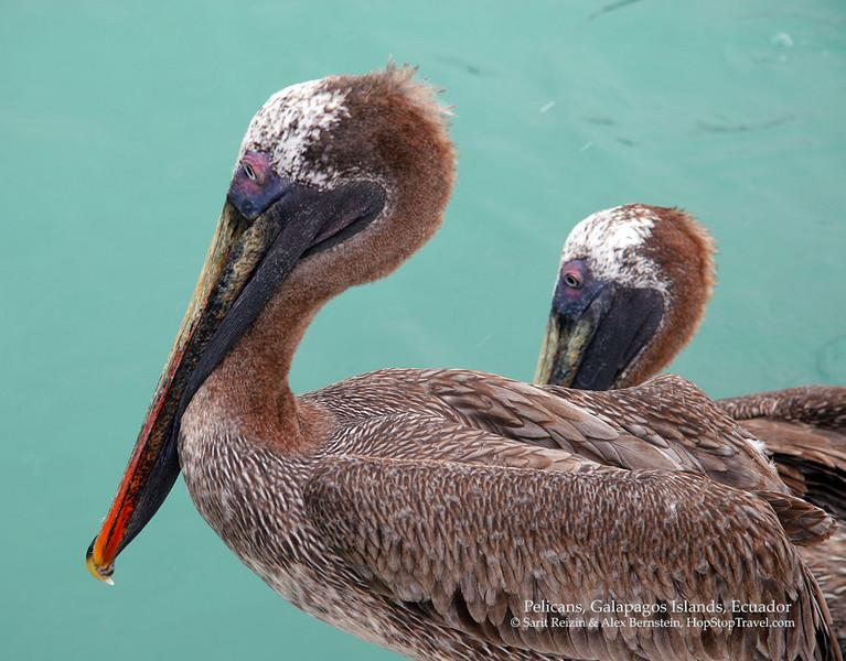 Pelicans, Galapagos Islands, Ecuador