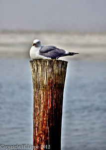 Seagull Resting 1 HDR