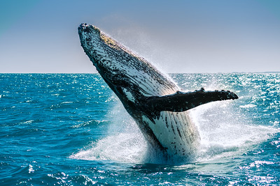 Humpback whale off the Fraser Island Coast