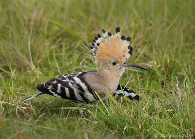 Hoopoe (Upupa epops), Hill Farm, Wood Land, Willington, Bedfordshire, 10/10/2014