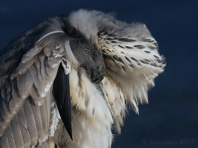 Preening Beauty