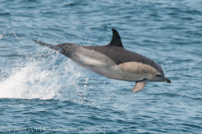 Short-beaked Common Dolphins