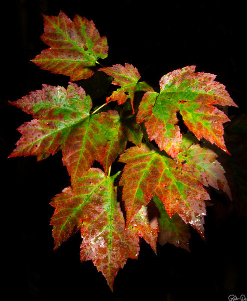 Fall  Portrait | Photography can come from anywhere.  These oak leaves were just changing colors found in my back yard.  After a rainy night this image was captures using an off camera flash exposing only the leaves.