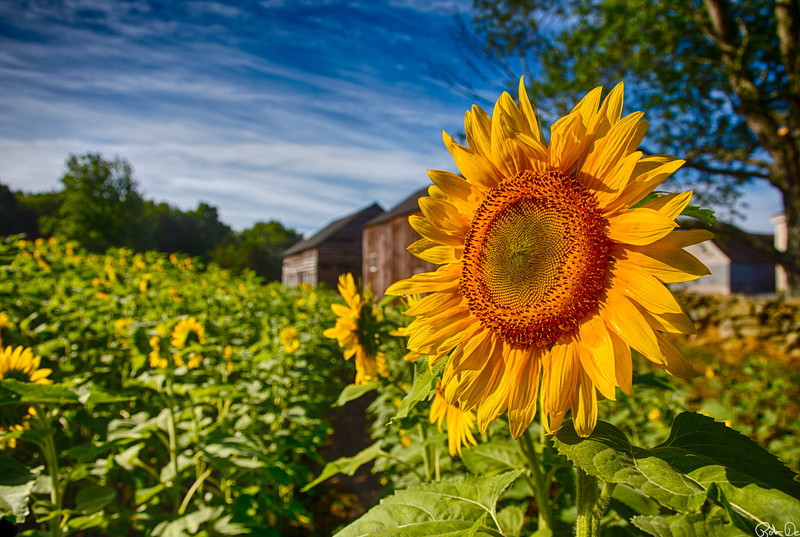 Buttonwood Farm 2012 | Every year the Buttonwood Farm in Griswold, CT grows 10 acres of sunflowers.  People come from all around to visit and photograph this field.  Donations are collected for the Make –A-Wish foundation.