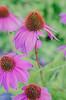 Echinacea purpureas aka Eastern purple cone flower.