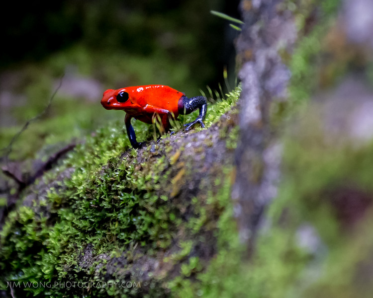 Blue jeans dart frog, Guapiles