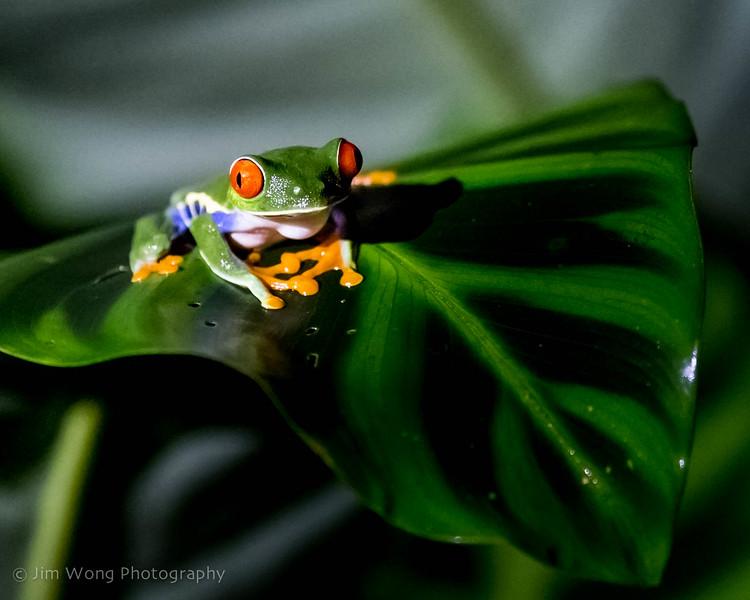 Red-eyed leaf frog, La Fortuna