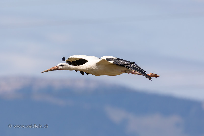 White Stork - Weissstorch