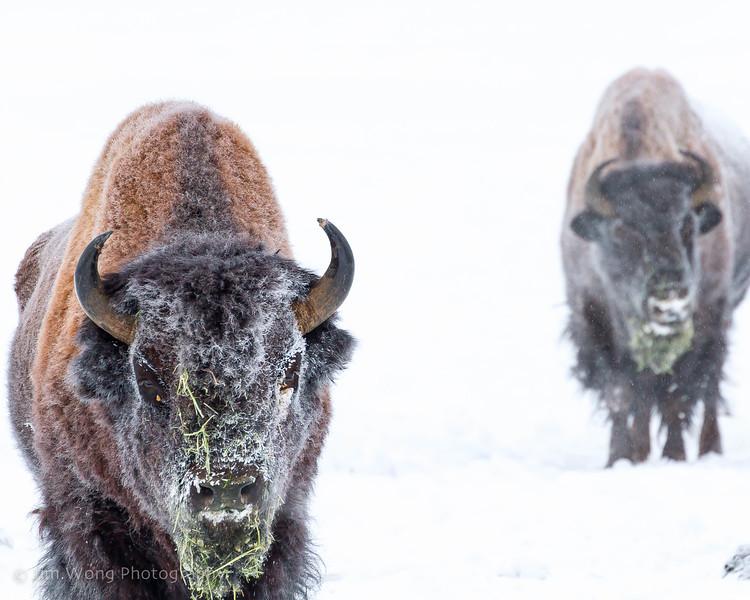 Wood Bison, Yukon Animal Preserve