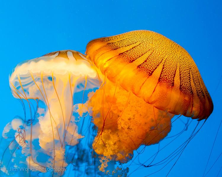 South American sea nettle, Monterey Bay Aquarium