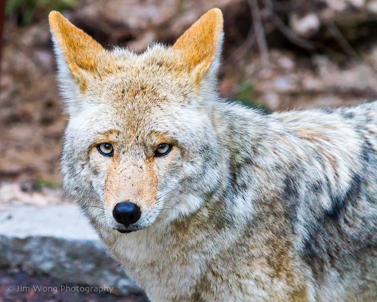 Coyote II, Yosemite National Park