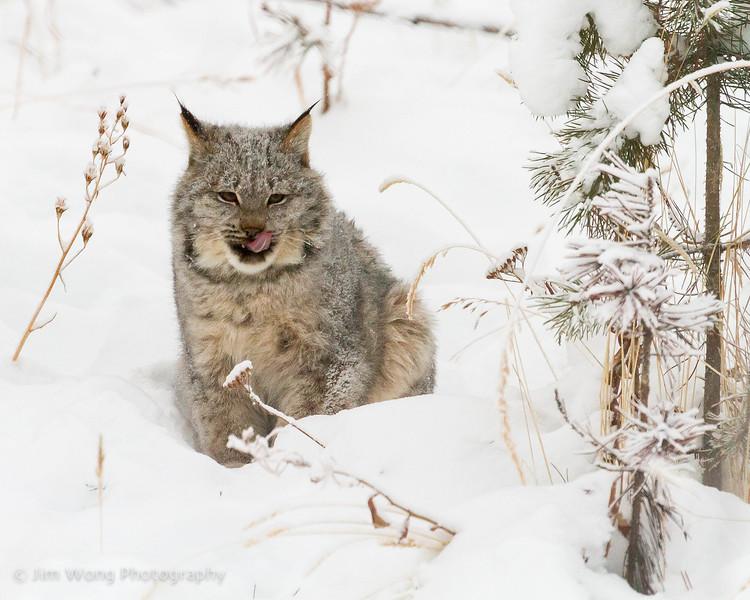Canada lynx I, Yukon Animal Preserve