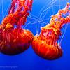 Black sea nettle II, Monterey Bay Aquarium
