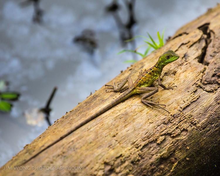 Juvenile green basilisk, Alajuela