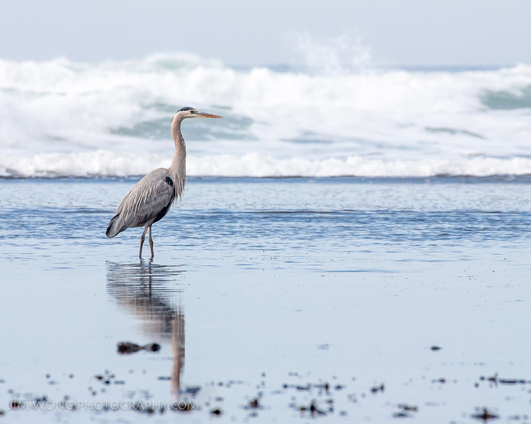 Heron, Half Moon Bay, California